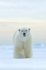 IJsbeer op de rand van het drijfijs met sneeuw en water in de Noorse zee. Wit dier in de natuurhabitat, Europa. Wildlife scène uit de natuur. Gevaarlijke beer die op het ijs loopt, mooie avondlucht.