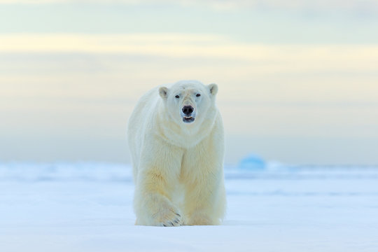 Polar bear, face walking in snow, Canada winter. White animal in the nature habitat, America. Wildlife scene from nature. Dangerous bear on the ice, beautiful evening sky.
