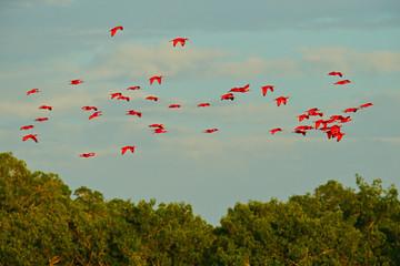 Scarlet Ibis, Eudocimus ruber, exotic red bird, nature habitat, bird colony sitting on the tree, Caroni Swamp, Trinidad and Tobago, Caribbean. Flock of ibis, wildlife nature.