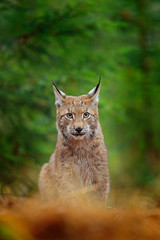 Eurasian lynx walking. Wild cat from Germany. Bobcat among the trees. Hunting carnivore in autumn grass. Lynx in green forest. Wildlife scene from nature, Czech, Europe.