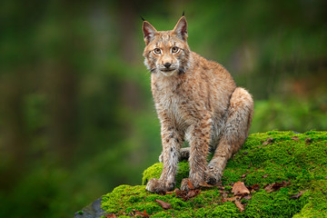 In de dag Lynx Lynx in the forest. Sitting Eurasian wild cat on green mossy stone, green in background. Wild lynx in the nature habitat, Germany, Europe. Beautiful animal, face portrait. Wildlife scene from nature.