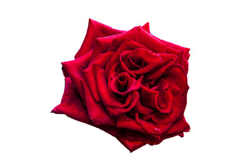 Black Baccara - type of rose on the white background