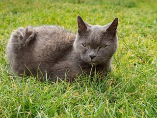 Gray fluffy cat. Cute gray kitten in the garden.