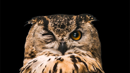 Wall Mural - The horned owl with one open eye. Isolated on a black background.
