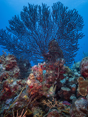 Seascape of coral reef in Caribbean Sea with sea fan and big moray - wide angel of coral reef at scuba dive around Curaçao /Netherlands Antilles with soft and black gorgonian coral and green moray eel