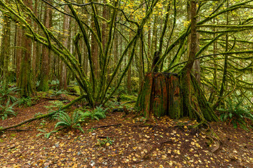 Lush vegetation and giant tree trunk in the Golden Ears Provincial Park