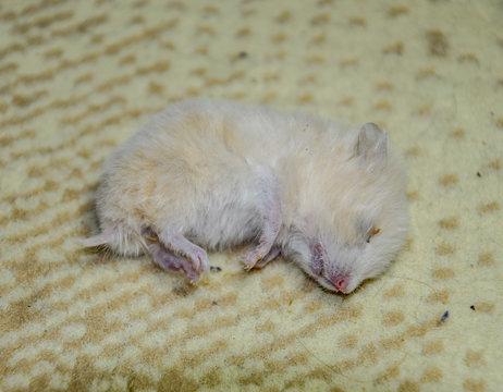 Dead hamster lying on the carpet. The dead home rodent hamster.