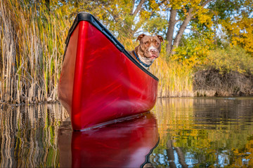 pit bull terrier dog in a red canoe
