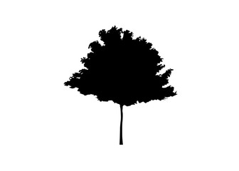 Vector black and white maple silhouette. Vector illustration isolated