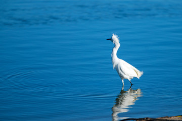 White Egret with ruffled bedhead while wading and reflecting in the Santa Clara river estuary in Ventura California United States