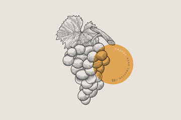 Fototapeta Image of bunch of grapes in an engraving style on light background. Vector illustration.