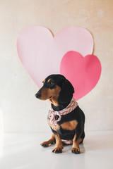 Cute dachshund wearing a scarf