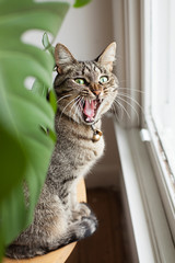 Tabby cat yawning beside monstera plant