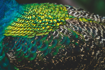A closeup of a peacocks back