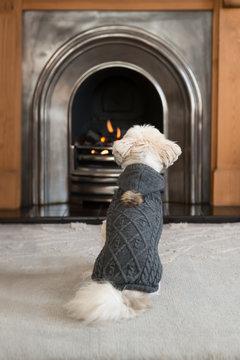 Lhasa apso wearing a dog sweater