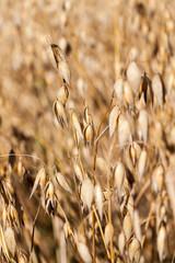 oat closeup