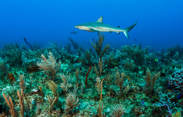 Caribbean reef shark patrols reef.