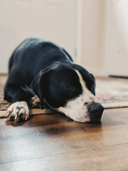 Lazy dog laying on a rug.