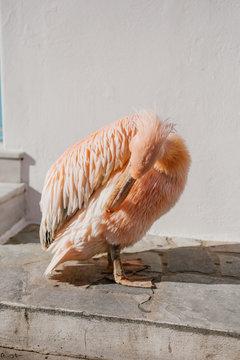 Pink pelican preening outdoors