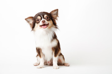 Chihuahua dog sitting on white studio background