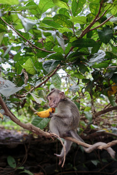 Adorable little baby monkey puzzled how to open a banana