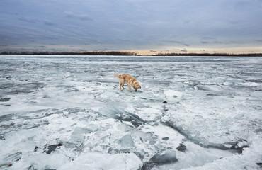 Dog on Lake Frozen with Ice