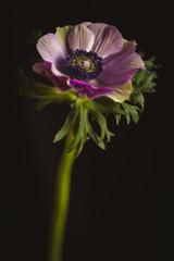 anemone portrait
