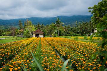 A small farm house on the edge of a marigold field