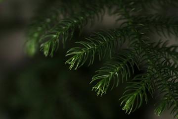 Norfolk Pine (Araucaria heterophylla)