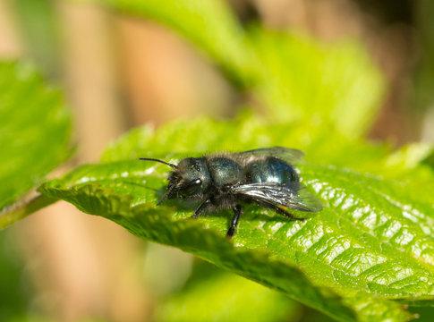 Blue Mason Bee (Osmia lignaria) resting on a leaf