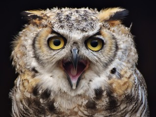 A Great Horned Owl (Bubo virginianus), aka the Tiger Owl.