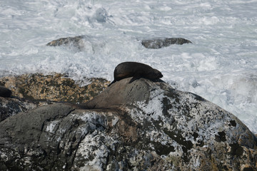 Ohau Point New Zealand Fur Seal 5
