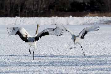 Red-crowned cranes fighting