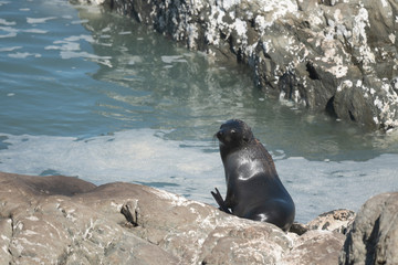 Ohau Point New Zealand Fur Seal 6