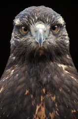 A Golden Eagle (Aquila chrysaetos), a bird of prey from North America.