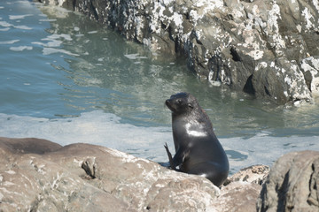Ohau Point New Zealand Fur Seal 7