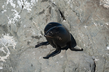 Ohau Point New Zealand Fur Seal 9