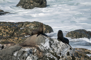 Ohau Point New Zealand Fur Seal 17