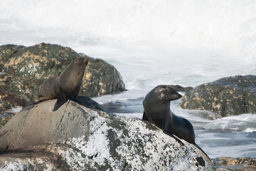 Ohau Point New Zealand Fur Seal 19