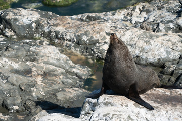 Ohau Point New Zealand Fur Seal 24
