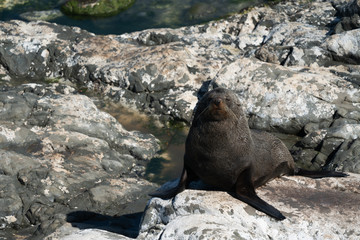 Ohau Point New Zealand Fur Seal 25