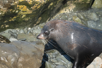 Ohau Point New Zealand Fur Seal 26