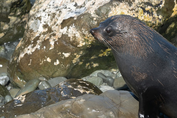 Ohau Point New Zealand Fur Seal 27