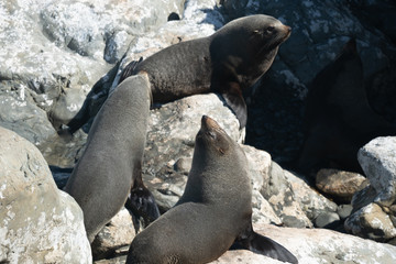 Ohau Point New Zealand Fur Seal 28