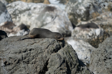 Ohau Point New Zealand Fur Seal 31