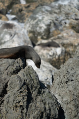 Ohau Point New Zealand Fur Seal 36