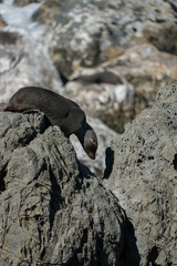 New Zealand fur seal pup climbing on rocks