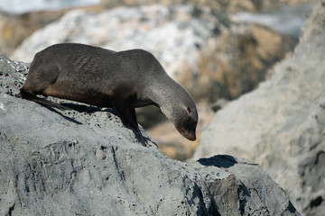 Ohau Point New Zealand Fur Seal 39