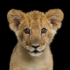 Porträt von Lion Cub starrte in die Kamera auf schwarzem Hintergrund isoliert, Vorderansicht