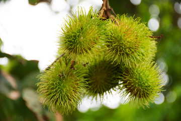 Rambutans fruits on tree branch at outdoor of orchard in Rayong, Thailand